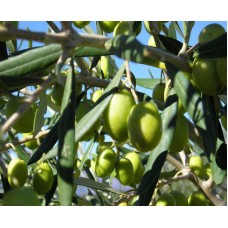 Coratina Olive Oil - Southern Hemisphere (Chile) ***JUST ARRIVED***
