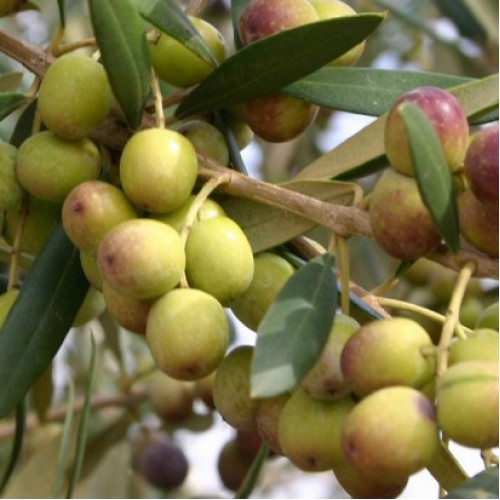 Arbequina Olive Oil - Southern Hemisphere (Chile) ***JUST ARRIVED***