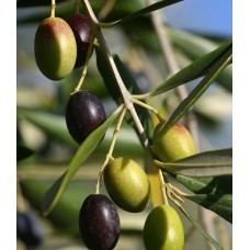 Frantoio Premium Extra Virgin Olive Oil - Northern Hemisphere (Spain) ***JUST ARRIVED***