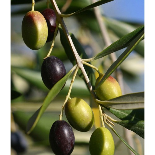Frantoio Olive Oil - Northern Hemisphere (Spain) ***JUST ARRIVED***