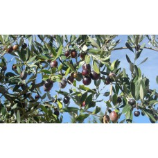 Taggiasca Olive Oil - Northern Hemisphere (California)